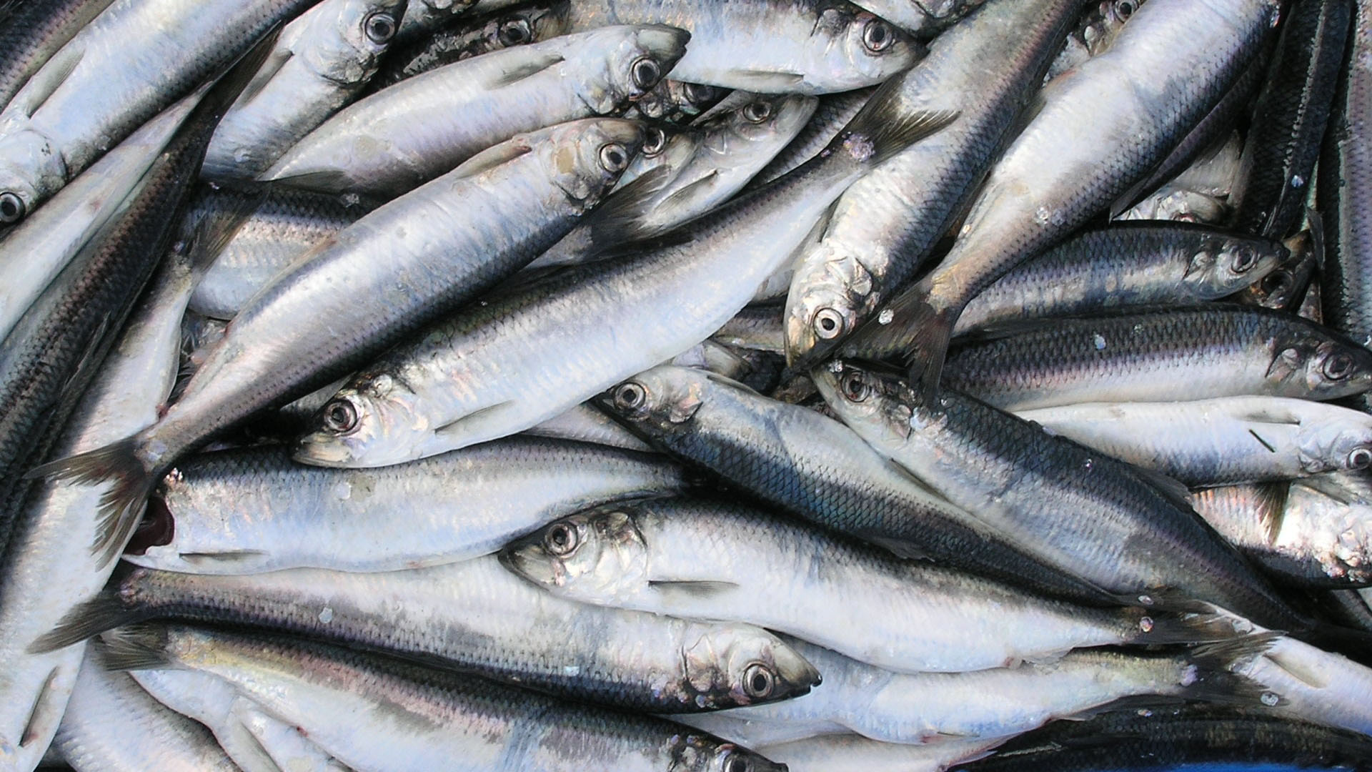 North Nova Seafoods Fresh Herring