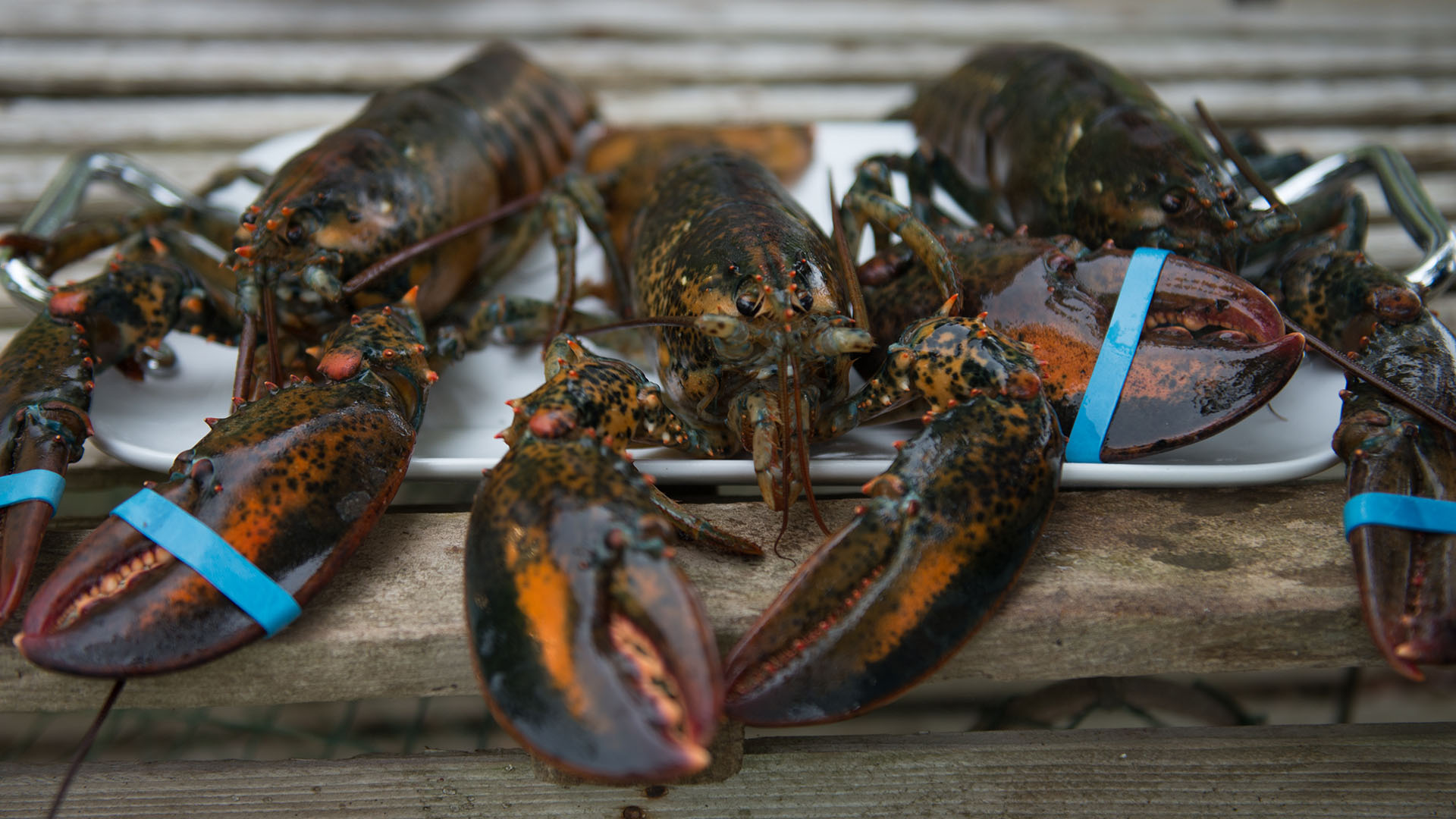 North Nova Seafoods Lobsters